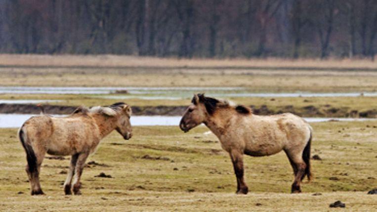 Konikpaarden in de Oostvaardersplassen. I (ANP) Beeld