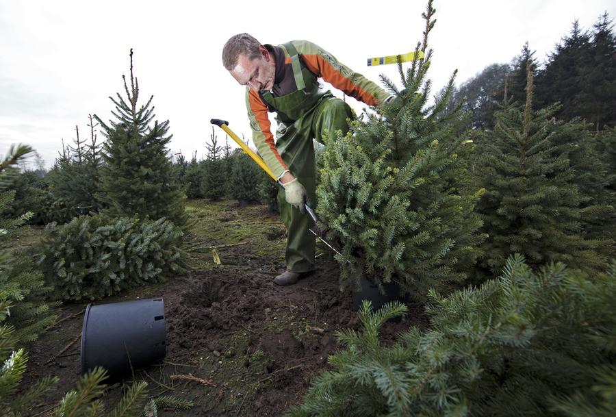 Kerstboom Met Kluit Maar Zonder Pot Niet Brandveilig Economie