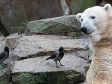 Berlijnse Wolodja (7) moet Ouwehands aan jonge ijsbeertjes helpen