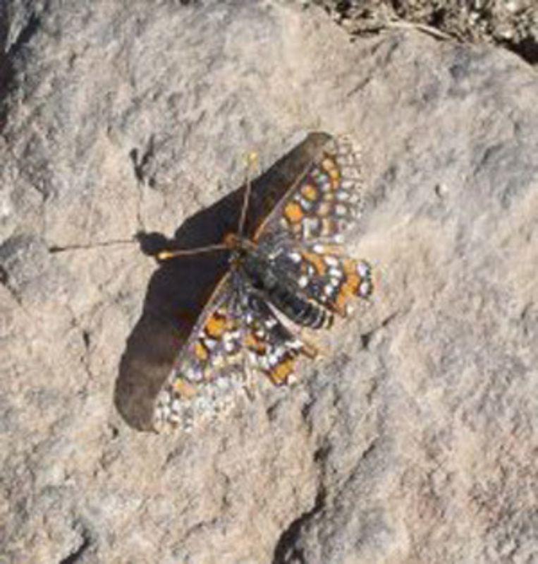 De vlinder quino checkerspot heeft zijn habitat verlegd.