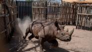 Vier zwarte neushoorns kort na hervestiging in Tsjaad gestorven: ze hadden moeite om te wennen aan nieuwe leefomgeving