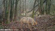 """Zuhal Demir (N-VA) kondigt 'Big Brother in het bos' aan: """"Je wil de wolf nu écht niets aandoen"""""""