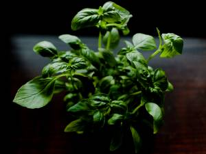 L'astuce pour garder votre plant de basilic en vie