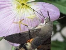 Boswachter Jenny redt kolibrievlinder uit benarde situatie