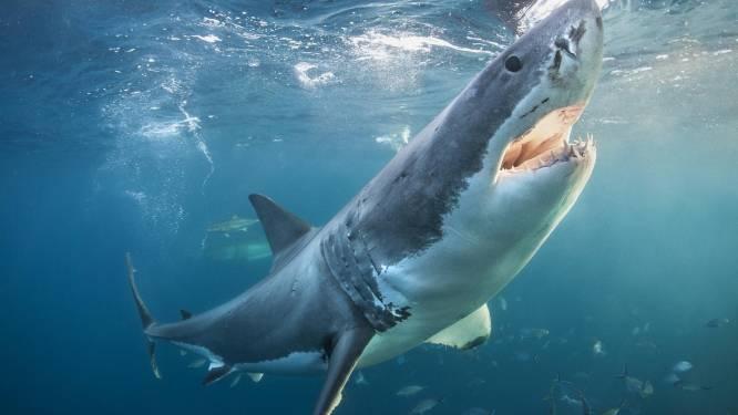 Hoogste aantal doden in 86 jaar door haaienaanvallen in Australië: is klimaatverandering de oorzaak?