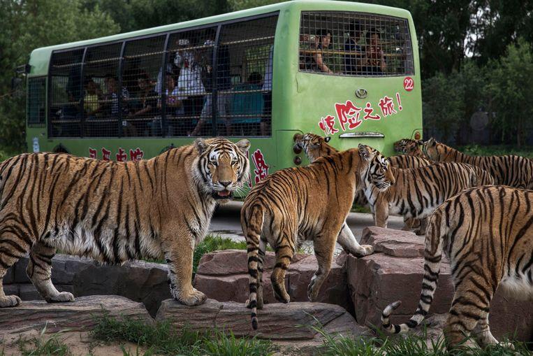 Siberische tijgers wachten om te worden gevoed door toeristen in het Heilongjiangpark, bij de noordelijke Chinese miljoenenstad Harbin. China heeft een hele bedrijfstak van zogeheten tijgerboerderijen, waar duizenden tijgers gehouden worden om bot te leveren voor de medicijnindustrie. Beeld null