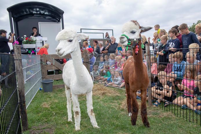 Op camping Straahof werden de alpaca's in de echt verbonden.