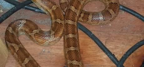 Wurgslang gevonden in achtertuin Nunspeet, wie mist het reptiel?