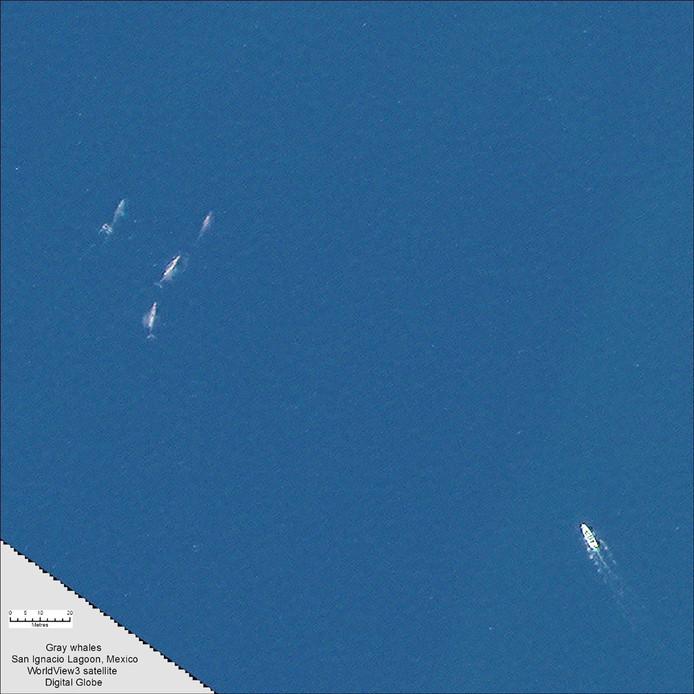 Grijze walvissen volgen vanuit de ruimte met een Satelliet in de San Ignacio Bay in Mexico.