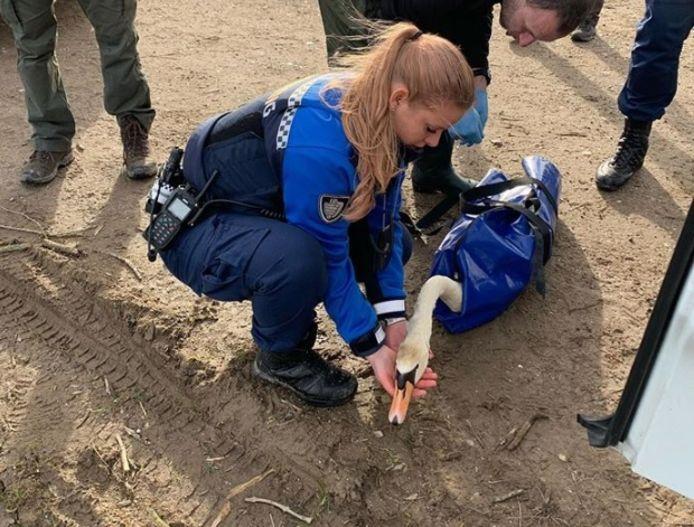Handhavers vangen een gewonde zwaan in de Nieuwe Dordtse Biesbosch.