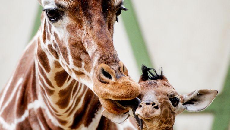 Giraf in Artis Beeld anp