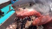 Gigantische witte haai overschat zichzelf en stikt in zeeschildpad