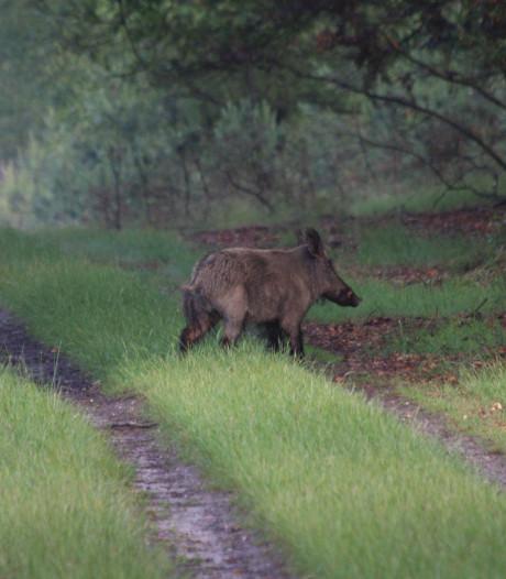 Natuurbeheerders als de dood dat Veluwse zwijnen agressieve varkenspest verspreiden