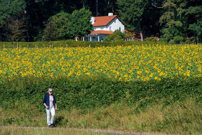 Een wandelaar passeert op de Utrechtseweg in Oosterbeek een zonnebloemenveld op Landgoed Mariëndaal.