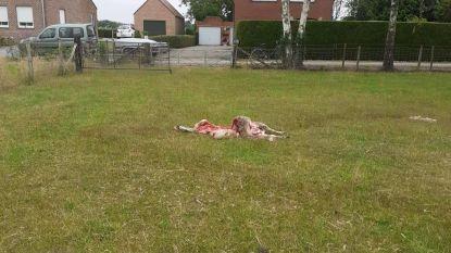 """August doodt weer schaap in Oudsbergen: """"Schuld van eigenaar"""", zegt Welkom Wolf"""