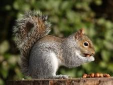 Amerikaanse vrouw met 'therapie-eekhoorn' uit vliegtuig gezet