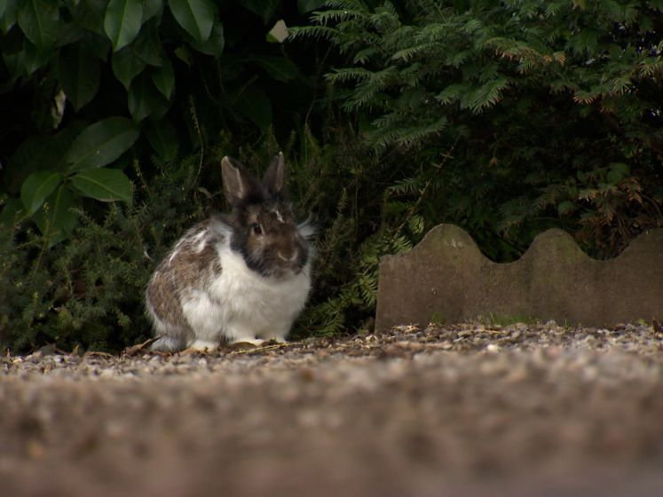 Maak kennis met Woppie, het konijn dat het kerkhof van Wellen onkruidvrij houdt