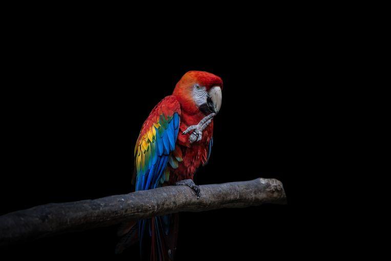 Een geelvleugelara. Beeld Getty Images