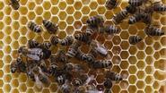 Geen Europese eensgezindheid over bescherming bijen