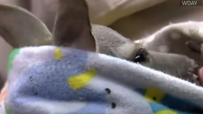 De babykangoeroe gluurt over de rand van de draagdoek.