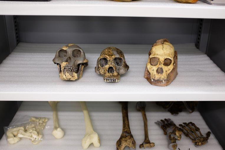 De schedels van Sediba (rechts), homo habilis (midden) en Australopithicus afarensis (links). Beeld Matt Wood