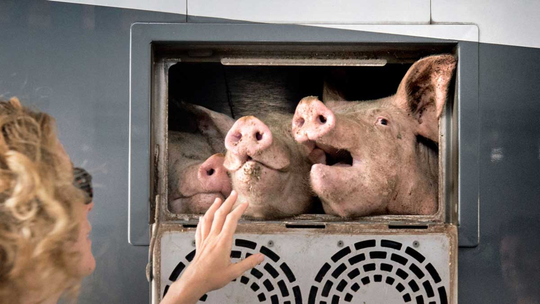 Varkens in een truck.
