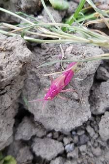 Zeer zeldzame roze sprinkhaan in Zeeland