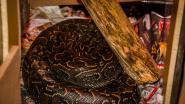 'Onhandelbare python' blijkt dood tijdens inval van politie, andere exotische dieren in beslag genomen