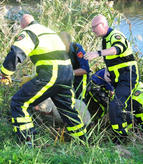 Brandweer voorkomt dat schaap snelweg A59 bij Waalwijk op rent