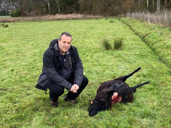 Jan Loos van Welkom Wolf bij een van de doodgebeten schapen in Zoersel.