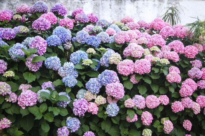 De hortensia is een plant die met z'n kleurige bloemen minder pollen afscheidt dan andere soorten.