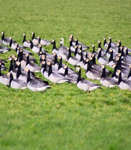 Boeren zijn boos: vraatzuchtige ganzen zijn geen melkkoe