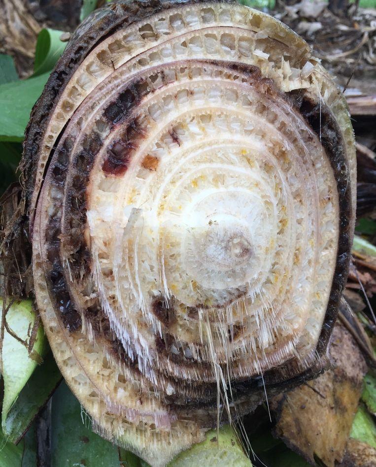 De vaten van de bananenboom worden van binnenuit afgekneld. Beeld Gert Kema