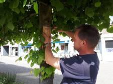 Lieveheersbeestjes ingezet om bladluis te bestrijden in Vijfheerenlanden