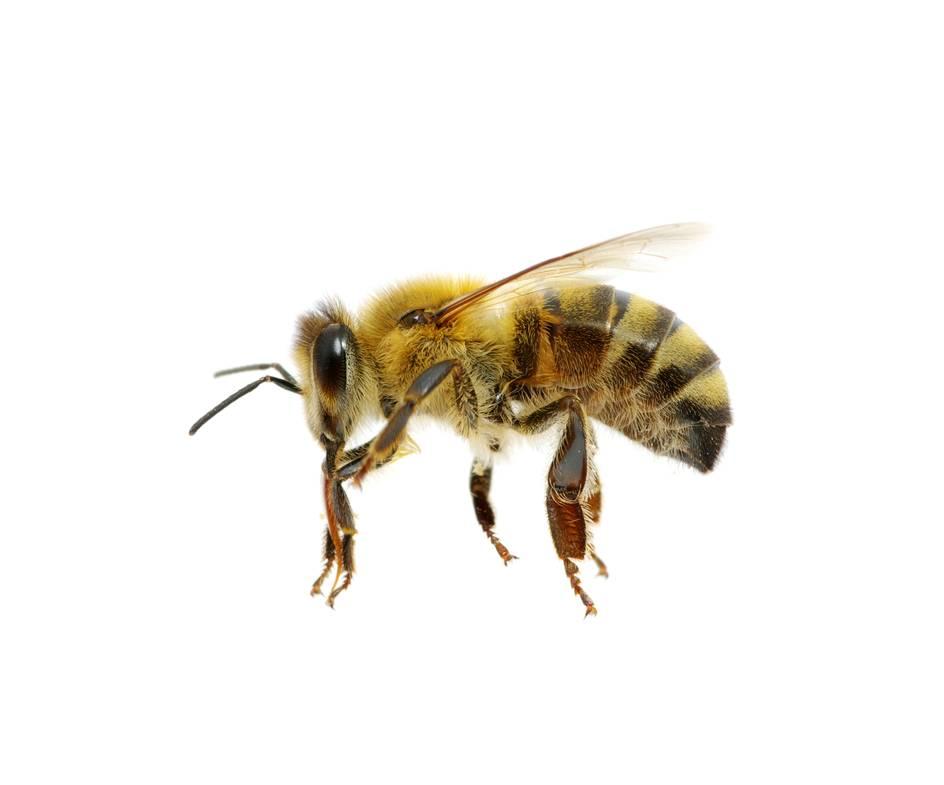 Citaten Over Bijen : Het gaat weer beter met de bijen trouw