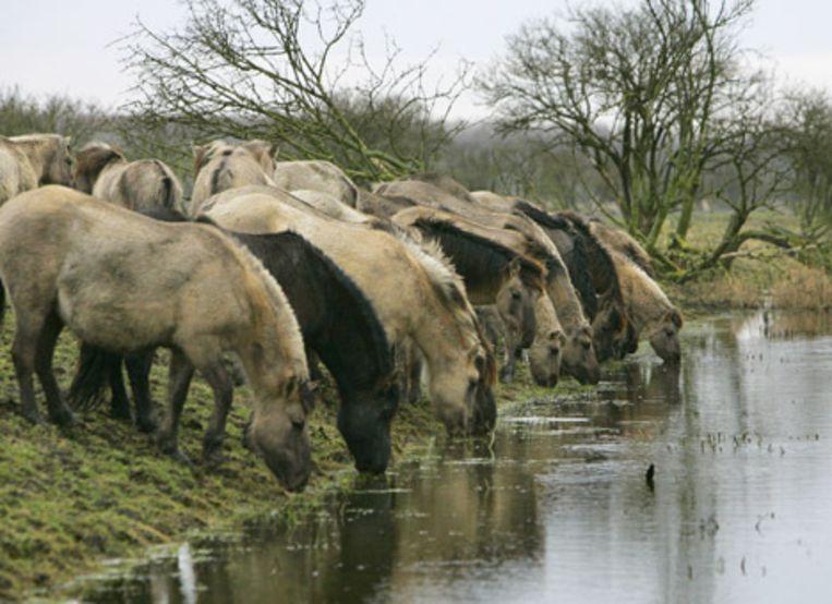 Konikpaarden in het natuurgebied Oostvaardersplassen. Beeld ANP