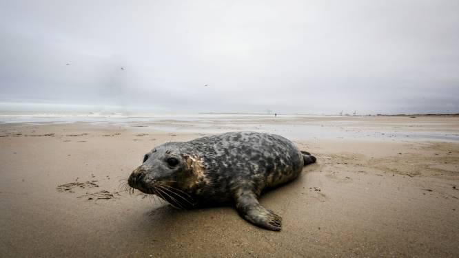 Honden moeten op Oostends strand aan de leiband, zodat ze geen zeehonden meer kunnen bijten