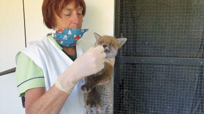 2020 wordt recordjaar: vosje is al 1.000ste gewonde dier bij VOC Neteland