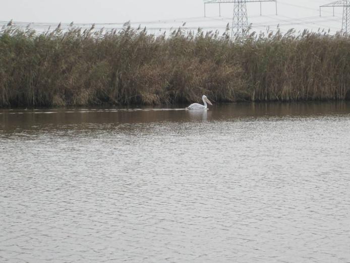De pelikaan bij de Mandjeswaardbrug. Foto: Heidi Kattenberg