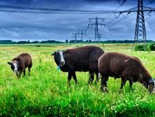 Tieners treiteren al twee weken schapen in Papendrecht: 'Ik joeg ze weg en nu ben ik de boze oude boer'