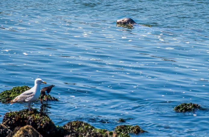 Raak! Daar zwemt een zeehond in de spuisluis op zoek naar eten. Ook de twee vogels hopen een visje te vangen.