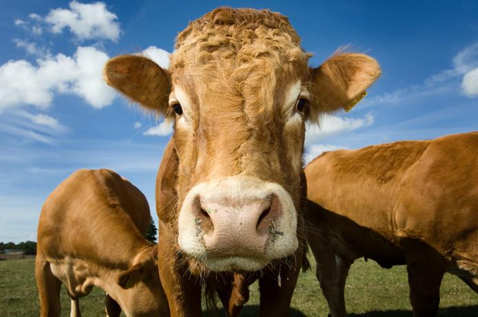 Runderen van het ras Limousin. Grote, aandoenlijke, beesten met een hoog knuffelgehalte. Maar in Ulvenhout ging het vorige week  gruwelijk mis.