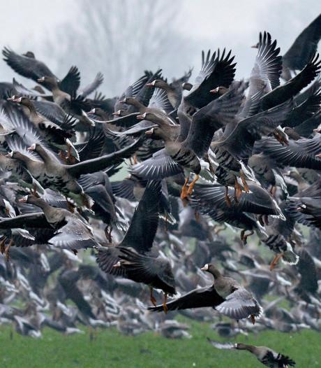 Vogelgriepvirus nu ook in Oost-Duitsland opgedoken