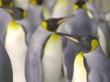 Net echt: ijsschotsje springen boven de pinguïns in Blijdorp