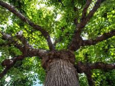 Een reis door de geschiedenis van deze eeuwenoude boom, misschien wel de mooiste van het land - en Europa