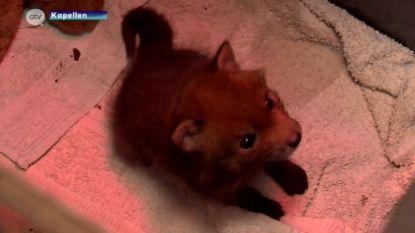 """Opnieuw nestje vosjes gevonden aan spoorweg: """"Waarschijnlijk is de mama overreden of geraakt door een trein"""""""