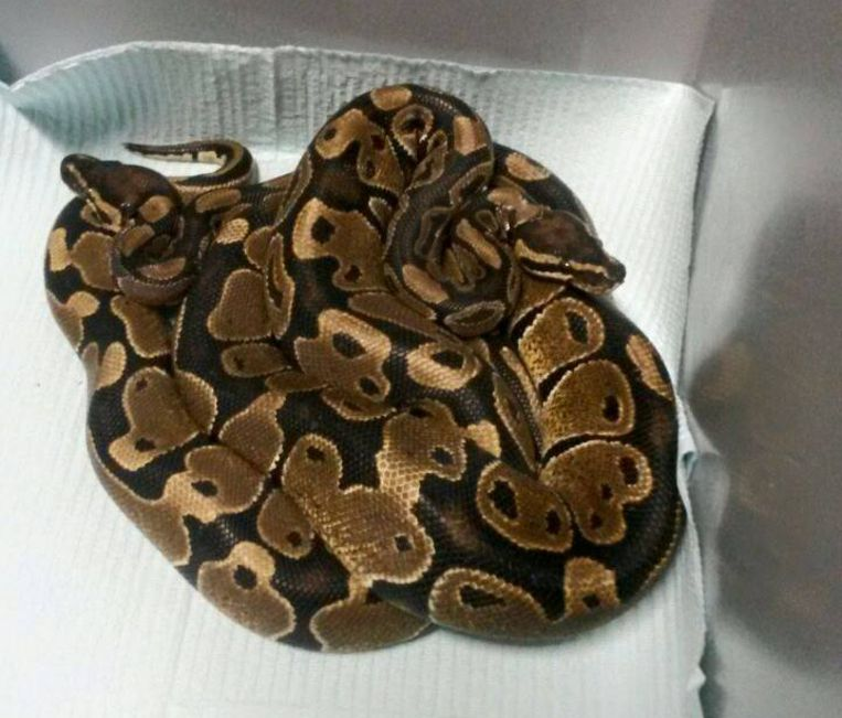 De twee gevonden pythons. Beeld Dierenambulance Amsterdam