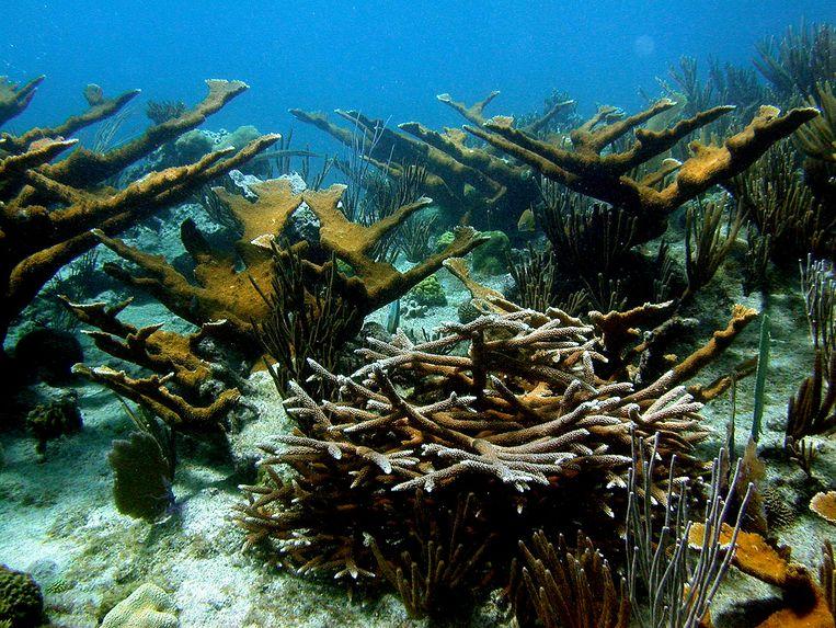 De Caraïbische koraalriffen zouden over 15 jaar misschien volledig verwoest zijn.