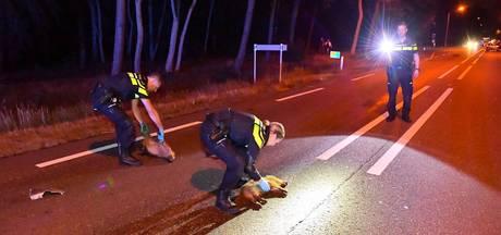 14 jonge zwijnen doodgereden door automobilist in Valkenswaard