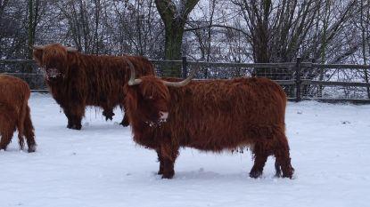 VIDEO. Schotse Hooglanders dartelen in sneeuw